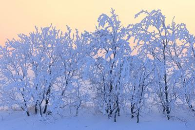 Canada, Manitoba, Dugald. Hoarfrost-covered trees. by Jaynes Gallery