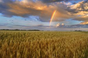 Canada, Manitoba, Lorette. Wheat field and rainbow after storm. by Jaynes Gallery