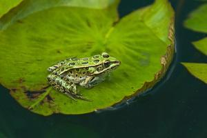 Canada, Manitoba, Winnipeg. Northern leopard frog on lily pad in pond. by Jaynes Gallery