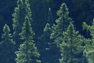 Canada, Ontario. Algonquin Provincial Park. Black Spruce Trees by Jaynes Gallery