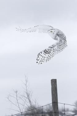 Canada, Ontario. Female snowy owl in flight. by Jaynes Gallery