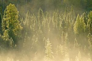 Canada, Ontario, Worthington. Conifers in Morning Fog by Jaynes Gallery