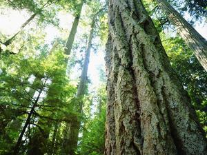 Canada, Vancouver Island. Old-Growth Douglas Fir Tree by Jaynes Gallery