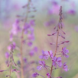 Canada, Yukon. Fireweed plant in bloom. by Jaynes Gallery