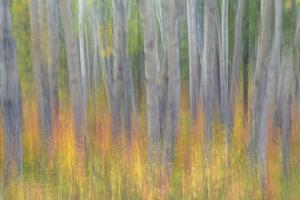 Canada, Yukon, Kluane National Park. Abstract of aspen trees. by Jaynes Gallery