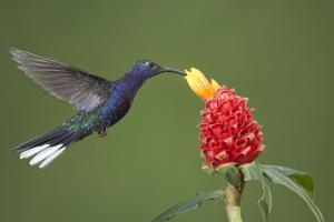 Caribbean, Costa Rica. Violet sabrewing hummingbird feeding by Jaynes Gallery