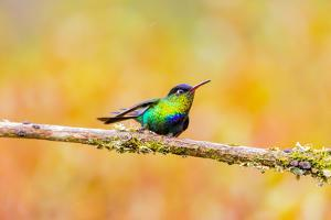 Central America, Costa Rica. Male fiery-throated hummingbird. by Jaynes Gallery