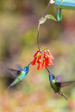 Central America, Costa Rica. Male hummingbirds feeding. by Jaynes Gallery
