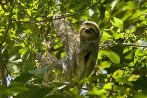 Central America, Costa Rica. Male Juvenile Three Toed Sloth in Tree by Jaynes Gallery