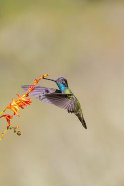 Central America, Costa Rica. Male talamanca hummingbird feeding. by Jaynes Gallery