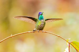Central America, Costa Rica. Male talamanca hummingbird. by Jaynes Gallery