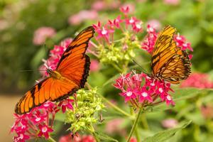 Central America, Costa Rica, Monteverde Cloud Forest Biological Reserve. Butterflies on Flower by Jaynes Gallery