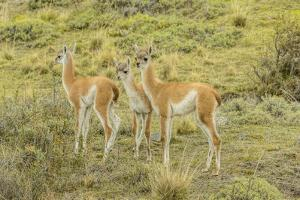 Chile, Patagonia. Group of young guanacos. by Jaynes Gallery