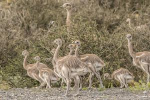 Chile, Patagonia. Male rhea and chicks. by Jaynes Gallery