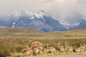 Chile, Patagonia. Rhea father and chicks. by Jaynes Gallery