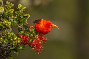 Close-Up of Iiwi Bird on Ohia Tree, Hakalau Forest NWR, Hawaii, USA by Jaynes Gallery