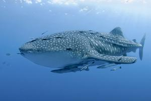 Close-Up of Whale Shark and Remora, Cenderawasih Bay, Papua, Indonesia by Jaynes Gallery