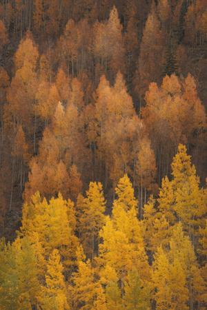 Colorado, Gunnison National Forest. Hillside of Aspen Trees in Autumn by Jaynes Gallery