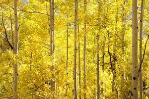 Colorado, San Juan Mountains. Aspen Trees in Autumn Color by Jaynes Gallery