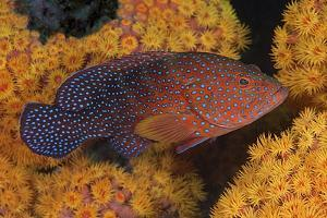 Coral Trout Fish and Coral, Raja Ampat, Papua, Indonesia by Jaynes Gallery