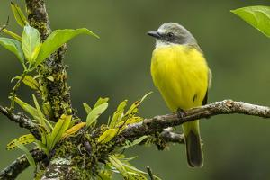 Costa Rica, Arenal. Close-Up of Social Flycatcher by Jaynes Gallery