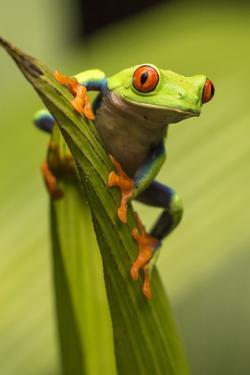 Costa Rica. Red-Eyed Tree Frog Close-Up by Jaynes Gallery