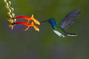 Costa Rica. White-necked Jacobin hummingbird. by Jaynes Gallery