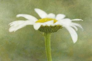 Daisy Flower with a Textured Background, California, USA by Jaynes Gallery