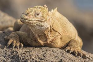 Ecuador, Galapagos National Park. Land iguana close-up. by Jaynes Gallery