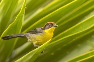 Ecuador, Nono. Rufous-naped bush-finch. by Jaynes Gallery