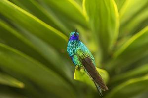 Ecuador, Nono. Sparkling violet-ear on leaf. by Jaynes Gallery