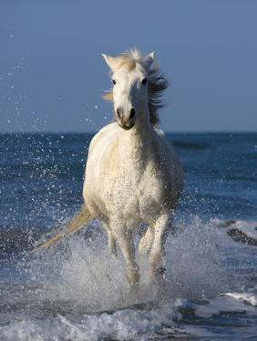 Europe, France, Provence, Camargue. Horse running through shore surf. by Jaynes Gallery