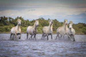 Europe, France, Provence. Camargue horses running in water. by Jaynes Gallery