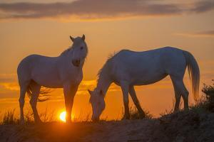 Europe, France, Provence, Camargue. Two Camargue horses at sunrise. by Jaynes Gallery
