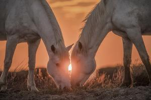 Europe, France, Provence, Camargue. Two Camargue horses grazing at sunrise. by Jaynes Gallery