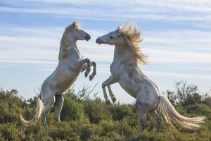 Europe, France, Provence, Camargue. Two stallions fighting. by Jaynes Gallery