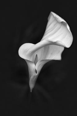 Europe, Ireland, Dublin. Calla Lily Black and White by Jaynes Gallery