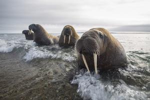 Europe, Norway, Svalbard. Walruses Emerge from the Sea by Jaynes Gallery