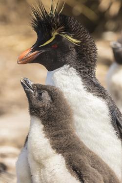 Falkland Islands, Bleaker Island. Rockhopper penguin adult and chick. by Jaynes Gallery