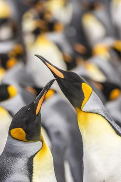 Falkland Islands, East Falkland. King penguins in colony. by Jaynes Gallery