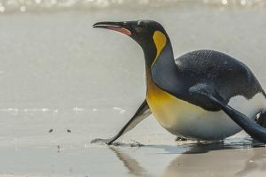 Falkland Islands, East Falkland, Volunteer Point. King penguin on beach. by Jaynes Gallery