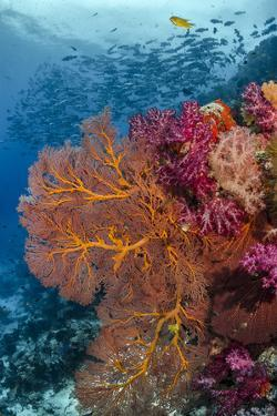 Fiji. Fish and coral reef. by Jaynes Gallery