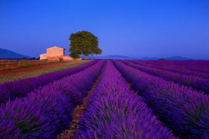 France, Provence. Lavender field in the Valensole Plateau. by Jaynes Gallery