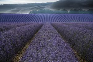 France, Provence, Valensole. Lavender fields and storm clouds. by Jaynes Gallery