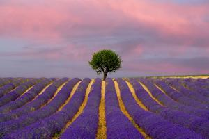 France, Provence, Valensole. Sunrise on lavender field and tree. by Jaynes Gallery