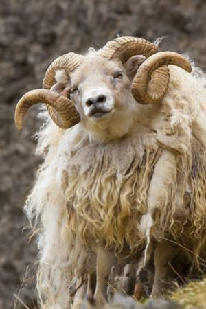 Iceland. Close-up of Icelandic sheep. by Jaynes Gallery