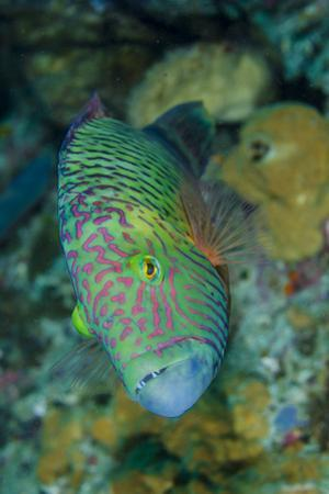 Indonesia, Bima Bay. Close-Up of Wrasse Fish by Jaynes Gallery