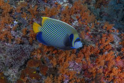 Indonesia, West Papua, Raja Ampat. Angelfish close-up.