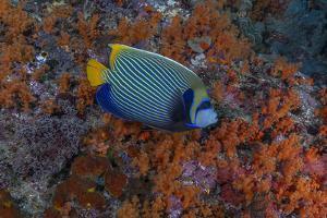 Indonesia, West Papua, Raja Ampat. Angelfish close-up. by Jaynes Gallery