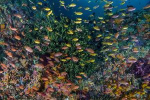 Indonesia, West Papua, Raja Ampat. Anthia Fish and Coral Reef by Jaynes Gallery